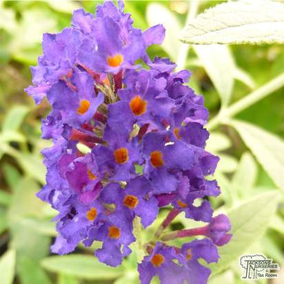 Buy Buddleja davidii 'Black Knight' (Butterfly Bush (Buddleja)) online from Jacksons Nurseries