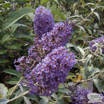 Buy Buddleja davidii 'Peacock' (Butterfly Bush) online from Jacksons Nurseries