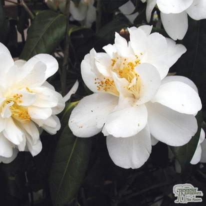Buy Camellia japonica 'Silver Anniversary' online from Jacksons Nurseries