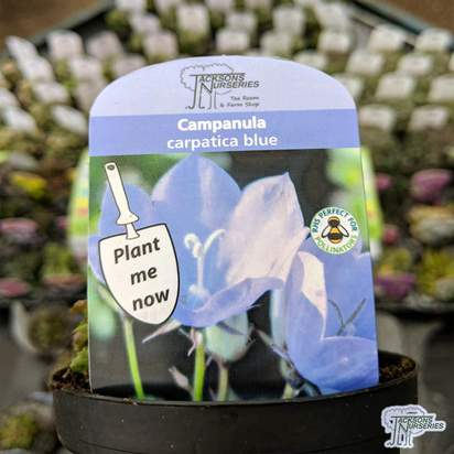 Buy Campanula carpatica 'Blue' online from Jacksons Nurseries.