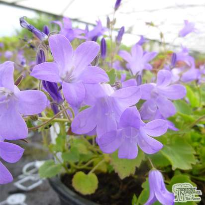 Buy Campanula poscharskyana (Serbian Bellflower) online from Jacksons Nurseries