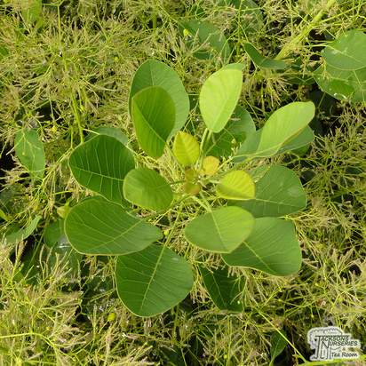 Buy Cotinus coggygria Young Lady (Smoke Bush) online from Jacksons Nurseries