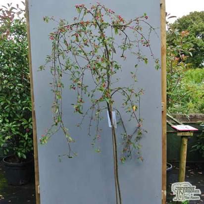 Buy Cotoneaster Hybridus Pendulus (Cotoneaster) online from Jacksons Nurseries