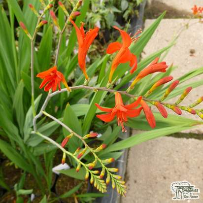 Buy Crocosmia x crocosmiiflora Emily McKenzie (Montbretia) online from Jacksons Nurseries