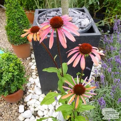 Buy Echinacea Art's Pride (Coneflower) online from Jacksons Nurseries.