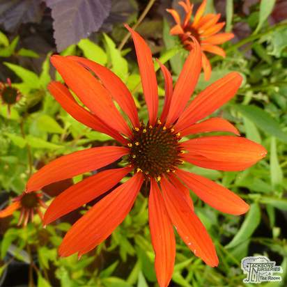 Echinacea 'Tomato Soup' - Jacksons Nurseries