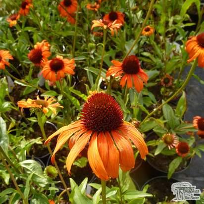 Echinacea 'Tomato Soup' - Jacksons Nurseries
