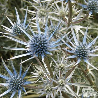 Eryngium bourgatii Sea Holly