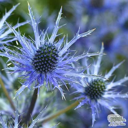 Buy Eryngium zabelii 'Big Blue' (Sea Holly) online from Jacksons Nurseries