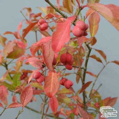Buy Euonymus europaeus at Jacksons Nurseries