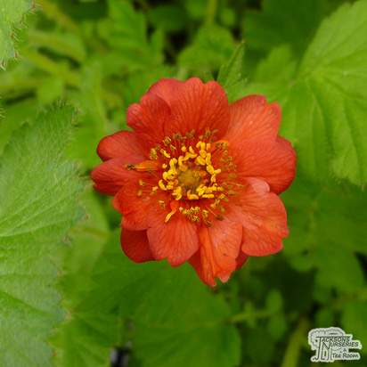 Buy Geum Mrs J. Bradshaw online from Jacksons Nurseries