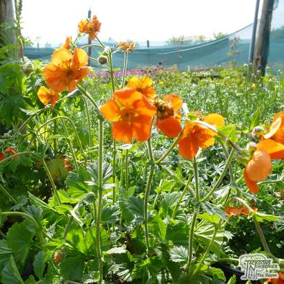 Buy Geum coccineum Borisii (Boris Avens) online from Jacksons Nurseries