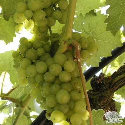 Buy Grape - Vitis vinifera Vroege van der Laan online from Jacksons Nurseries