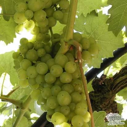 Buy Grape - Vitis vinifera Vroege van der Laan online from Jacksons Nurseries