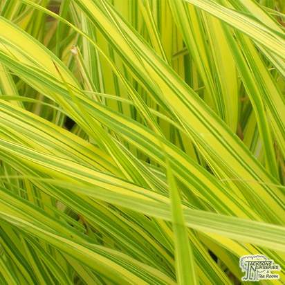 Buy Hakonechloa macra Aureola at Jacksons Nurseries