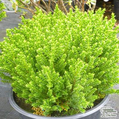 Buy Hebe 'Emerald Gem' (Shrubby Veronica) online from Jacksons Nurseries