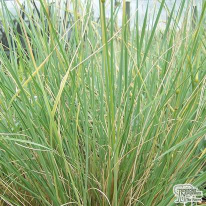 Buy Helictotrichon sempervirens Saphirsprudel (Blue Oat Grass) online from Jacksons Nurseries.