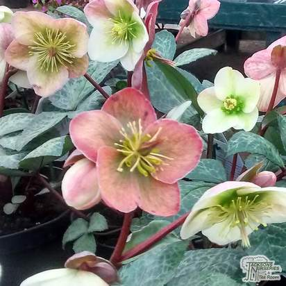 Helleborus 'Winter Moonbeam' - Jacksons Nurseries