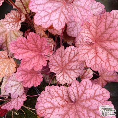 Buy Heuchera Berry Smoothie online from Jacksons Nurseries.