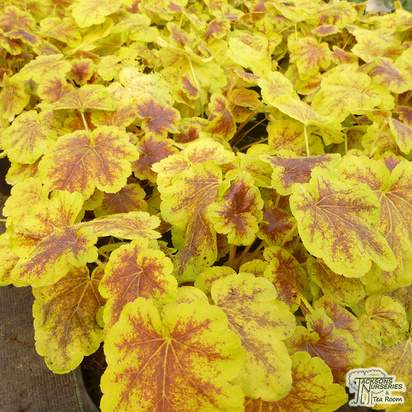 Buy Heucherella 'Solar Eclipse' (Foamy Bells) online from Jacksons Nurseries
