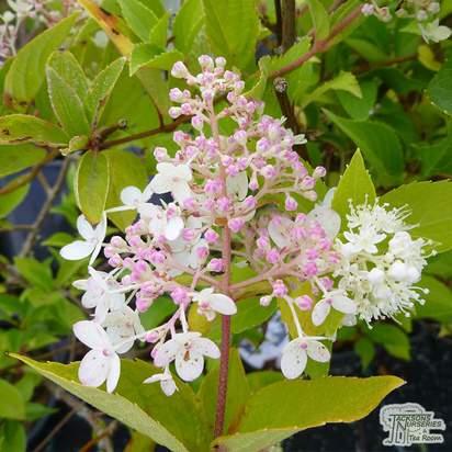 Hydrangea paniculata 'Sundae Fraise' - Jacksons Nurseries