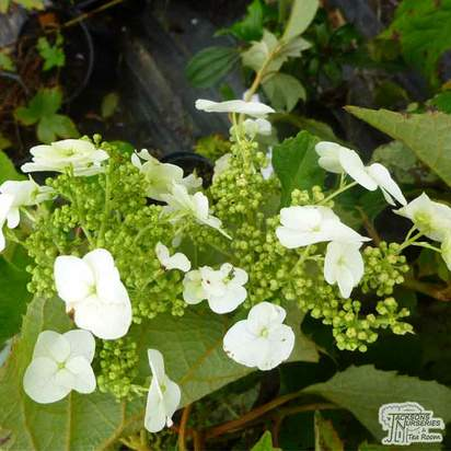Hydrangea quercifolia 'Ice Crystal' - Jacksons Nurseries