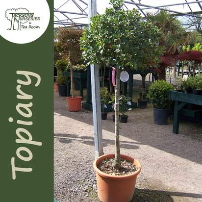 Buy Ilex aquifolium Lollipop (Topiary Holly) online from Jacksons Nurseries
