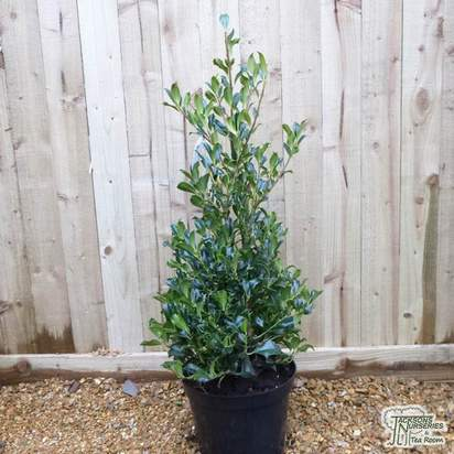 Buy Ilex aquifolium Pyramidalis online from Jacksons Nurseries