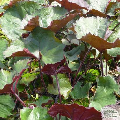 Buy Ligularia dentata 'Britt-Marie Crawford' in the UK at Jacksons Nurseries