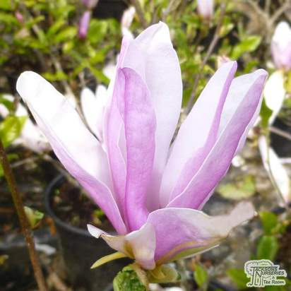 Buy Magnolia Susan (Magnolia) online from Jacksons Nurseries