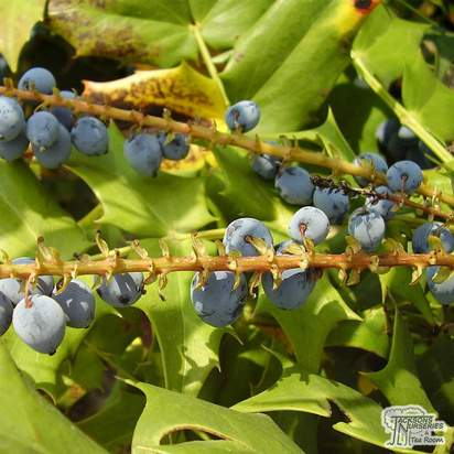 Buy Mahonia x media Winter Sun (Mahonia) online from Jacksons Nurseries