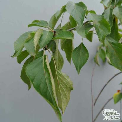 Buy Malus Cheal's Weeping (Weeping Crab Apple) online from Jacksons Nurseries