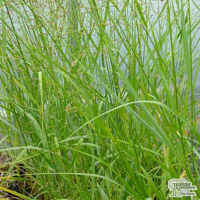 Buy Panicum Rehbraun at Jacksons Nurseries