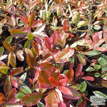 Photinia x fraseri 'Louise' at Jacksons Nurseries