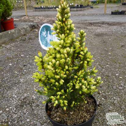 Buy Picea glauca JW Daisy's White online from Jacksons Nurseries