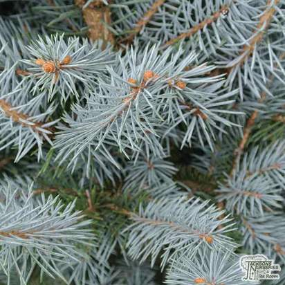 Buy Picea pungens Blue Diamond online from Jacksons Nurseries