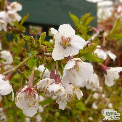 Buy Prunus incisa 'Kojo-no-mai' (Fuji Cherry) online from Jacksons Nurseries