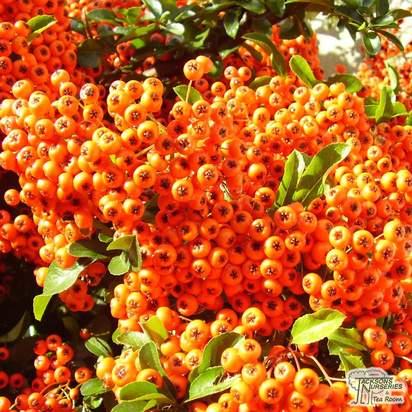 Buy Pyracantha Orange Glow (Orange Firethorn) online from Jacksons Nurseries