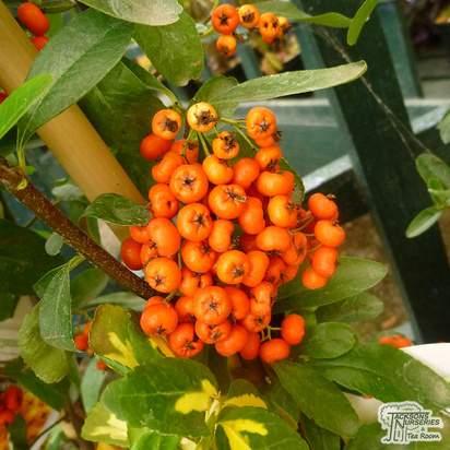 Pyracantha Saphyr Orange 'Cadange' - Jacksons Nurseries