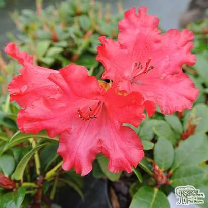Buy Rhododendron 'Axel Olsen'