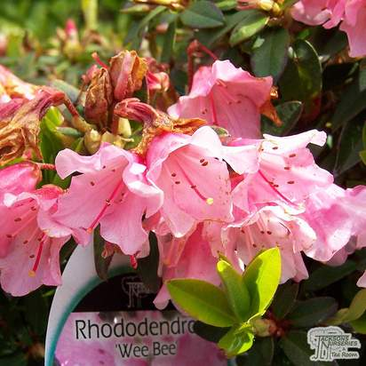Buy Rhododendron 'Wee Bee' online from Jacksons Nurseries.