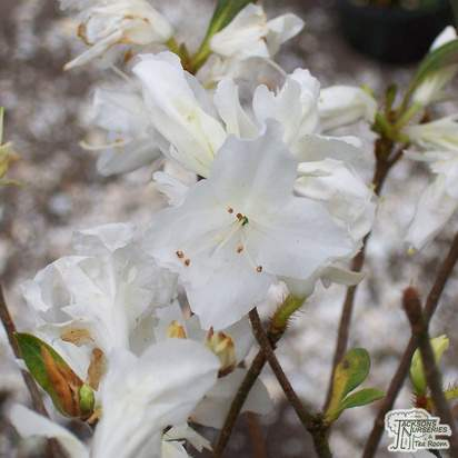 Buy Azalea japonica 'Diamond White' online from Jacksons Nurseries