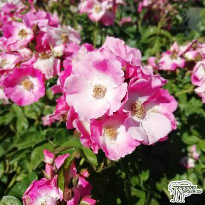 Buy Rosa Ballerina (Polyantha shrub) online from Jacksons Nurseries