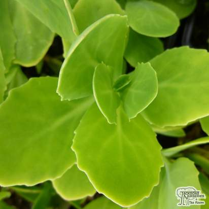 Buy Sedum spectabile (Brilliant Group) Brilliant (Ice plant) online from Jacksons Nurseries