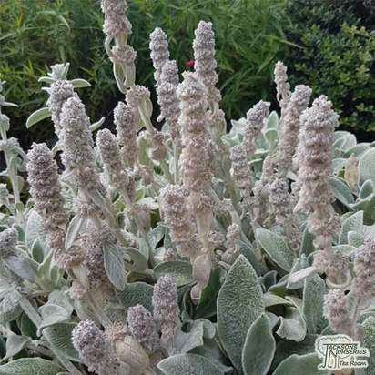 Buy Stachys byzantina Silver Carpet (Lamb's Ear) online from Jacksons Nurseries