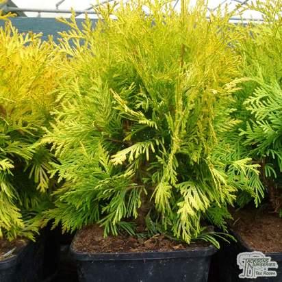 Buy Thuja occidentalis Sunkist online from Jacksons Nurseries
