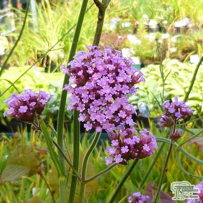 Buy Verbena bonariensis online from Jacksons Nurseries