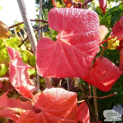 Buy vitis coignetiae online from Jacksons Nurseries