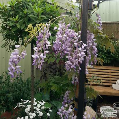 Buy Wisteria Sinensis Blue Sapphire Chinese Wisteria