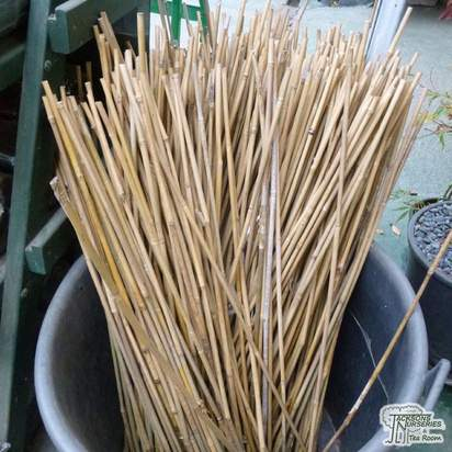 Buy Canes online from Jacksons Nurseries.